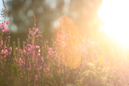 angustifolium: Wild blooming Willowherb at sunset - Epilobium Angustifolium. Stock Photo