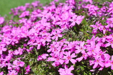 Wild pink alpine flowers growing on rock stock photo picture and stock photo wild pink alpine flowers growing on rock mightylinksfo