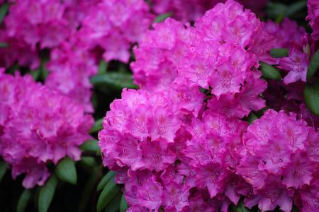 Pink azalea flower close up, natural background Stock Photo