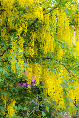 Beautiful background of yellow flowers of blooming acacia tree stock beautiful background of yellow flowers of blooming acacia tree stock photo 97047878 mightylinksfo