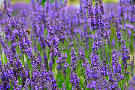 Beautiful Lavender Flowers shrub in garden close up view Stock Photo