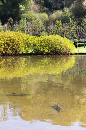 The brown trout (Salmo trutta) in clear transparent pond