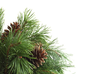 Green pine christmas tree green branch and cones isolated on white background with with copy space