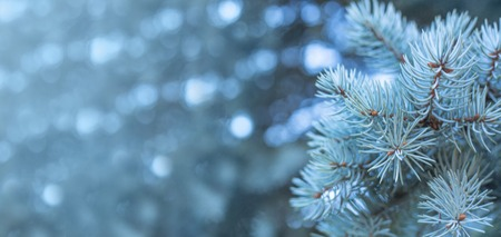 Branches of blue fir tree natural background with copy space for text wintertime cold frost Christmas concept 免版税图像