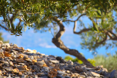 Olive Trees in garden beautiful landscape Brac island Croatia
