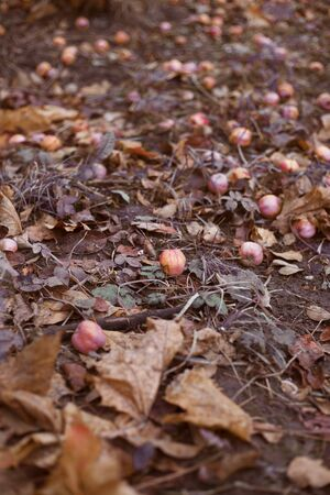 Decomposing red apples fallen on leafy ground. Late autumn background