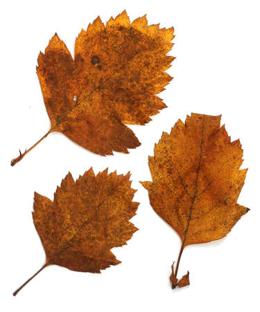 Collection set of beautiful autumn leaves isolated on white background