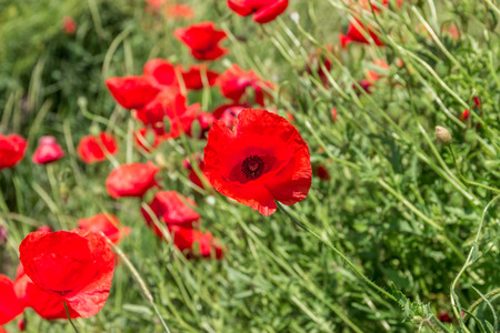 Wild poppies blooming in the field. Spring flowers. Natural drugs. Glade of red poppies. Lonely poppy. Blur soft focus Stock Photo