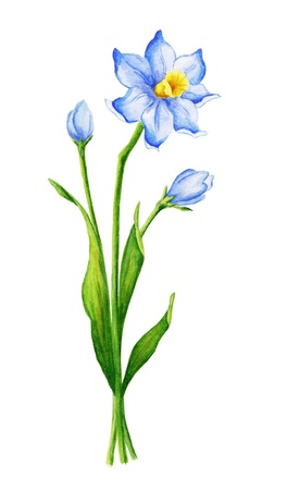 Watercolor narcissus flower