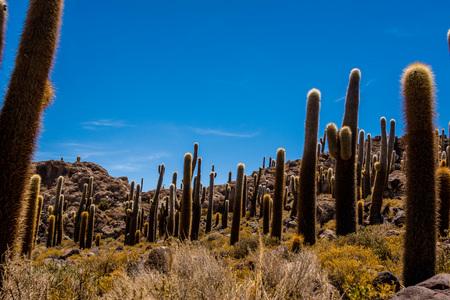 Giant cactus of the island of Incahuasi, in the salt marsh of Uyuni, Bolivia