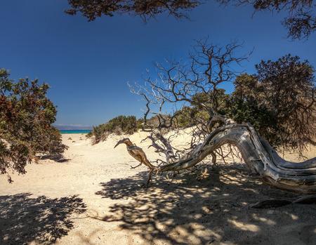Large-fruited juniper (Juniperus macrocarpa) tree on sandy beach with trees and sea in distance. Chrysi island, Ierapetra, Greece Stock Photo