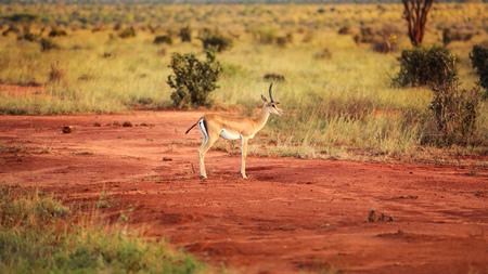 Grant's gazelle (Nanger granti) side view. Tsavo East National Park, Kenya