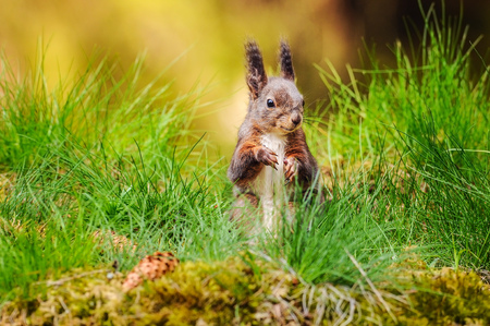 Eurasian red squirrel (Sciurus vulgaris) sitting in fresh green grass with moss and conifer cones in foreground and blurred forest in background. Stock Photo