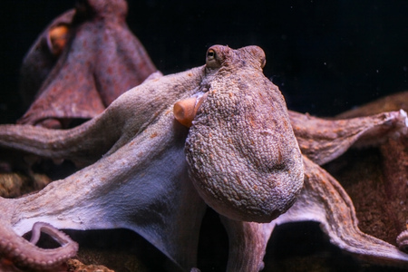 The common octopus (Octopus vulgaris) 写真素材