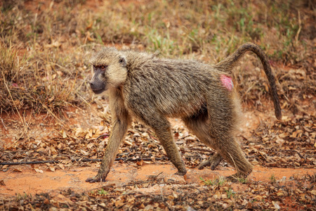 Yellow baboon (Papio cynocephalus)  walking on savanna. Amboseli national park, Kenya