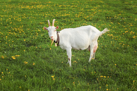 Goat with udders full, looking into camera on spring green meadow with yellow dandelions. Standard-Bild