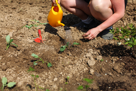 Woman watering freshly planted seedling with yellow sprinkle can, more young plants in ground around. Spring gardening.