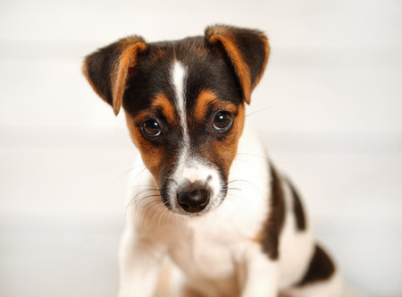 2 months old Jack Russell terrier puppy looking into camera. Studio shot on light background, detail to head.