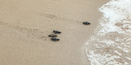 Baby turtles, just hatched from eggs, walking on sand trying to get into sea
