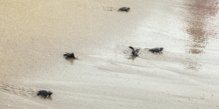 Hatched baby turtles, walking on sand trying to get into sea, one turned upside down after wave Banco de Imagens