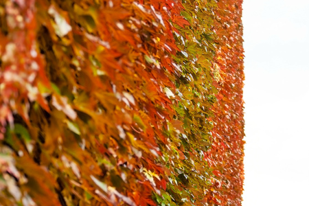 Detail on red brown and yellow coloured ivy growing on the wall, white sky in distance. Abstract autumn background.