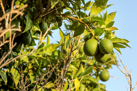 Unripe green lemons on a tree branch lit by afternoon sun, clear blue sky in background. Stock Photo