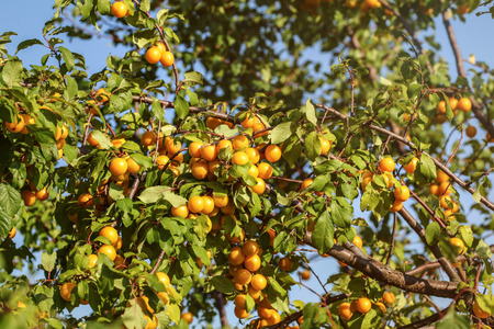 Ripe yellow mirabelle plum (Prunus domestica) fruits on tree, lit by afternoon sun.