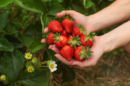 Woman hand holding handful of freshly picked strawberries, leaves and flowers in background. Self picking strawberry farm field.
