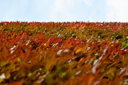 Red brown and yellow coloured ivy growing on the wall, blue and white sky in distance. Abstract autumn background.