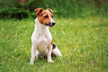 Small Jack Russell terrier sitting on low grass, looking to side, blurred bushes in background