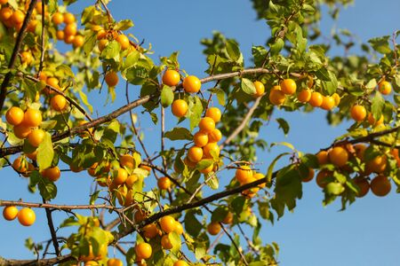 Yellow mirabell plums (cherry prune) on tree branches, lit by afternoon sun. Banco de Imagens