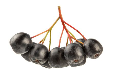 Aronia (Chokeberry) fruits with stems, isolated on white background.