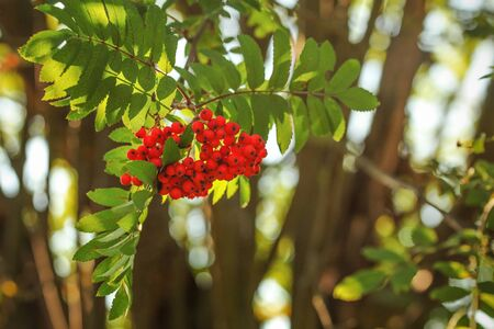 Rowan  mountain-ash berry (Sorbus aucuparia) bunch growing on tree branch, leaves lit by back light sun 写真素材