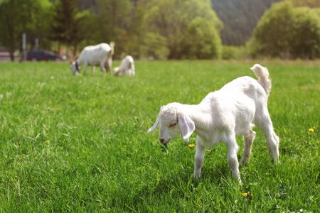 Youg white goat kid grazing on spring meadow, eating some green leaves.