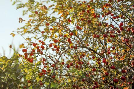 Rosehip (Dogrose