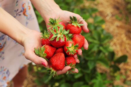 Detail on young woman hands holding freshly picked red ripe strawberries, self picking farm in background.