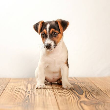 Jack Russell terrier puppy sitting on wooden boards, studio shot with white background.