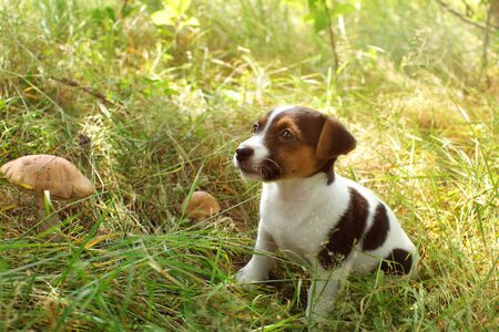 Jack Russell terrier puppy in low forest grass, two scaber stalk mushrooms next to her.