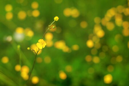 Shallow depth of field photo (only single flower in focus), common buttercup (Ranunculus acris), with more blurred plants in background. Abstract spring background