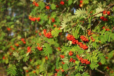 Mountain ash rowan (Sorbus aucuparia) berries between green leaves, lit by afternoon sun.