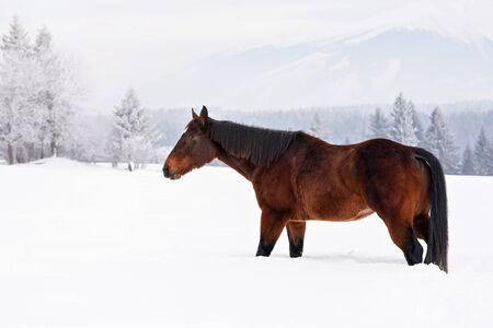 Dark brown horse walks on snow covered field in winter, blurred trees and mountain in background, side view Banco de Imagens