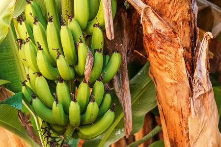 Bunch of green unripe bananas growing on the tree