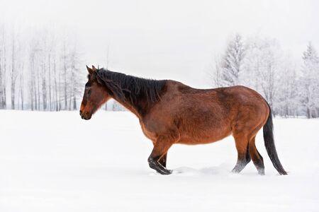 Dark brown horse walks on snow covered field in winter, blurred trees background Reklamní fotografie