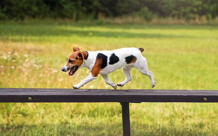 Small Jack Russell terrier dog running over tall wooden bridge ramp obstacle at agility training, blurred meadow in background Stock fotó