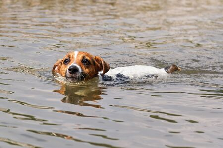 Small Jack Russell terrier swimming in river, only her head visible above water Banco de Imagens