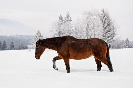 Dark brown horse walks on snow field in winter, blurred trees and mountains in background, view from side