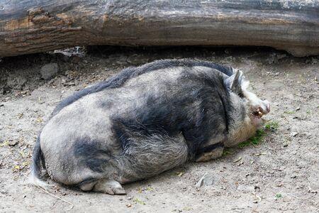 Large dirty Mangalica also Mangalitsa or Mangalitza - Hungarian breed of domestic pig laying on ground