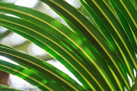 Closeup of green palm leaf, sun shines through