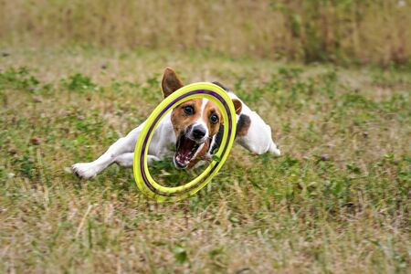 Small Jack Russell terrier playing with throwing disk, chasing it on meadow Stock fotó