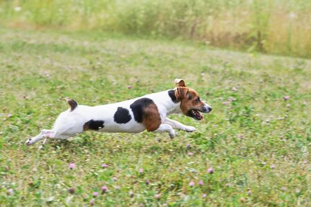 Small Jack Russell terrier running fast on grass meadow with small pink flowers, view from side Stock fotó